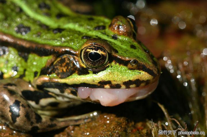 可爱青蛙,动物,蛙鸣 夏天 益虫,可爱青蛙0012