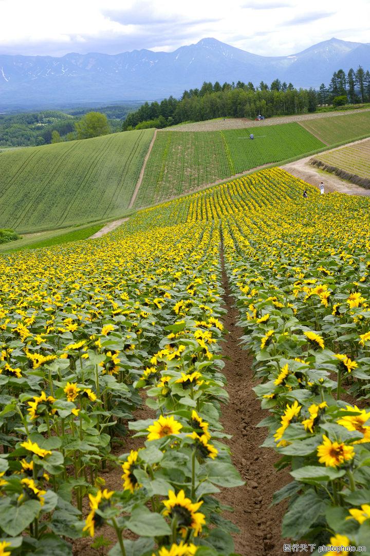 向日葵,风景,耕作 旱地 农作物,向日葵0054