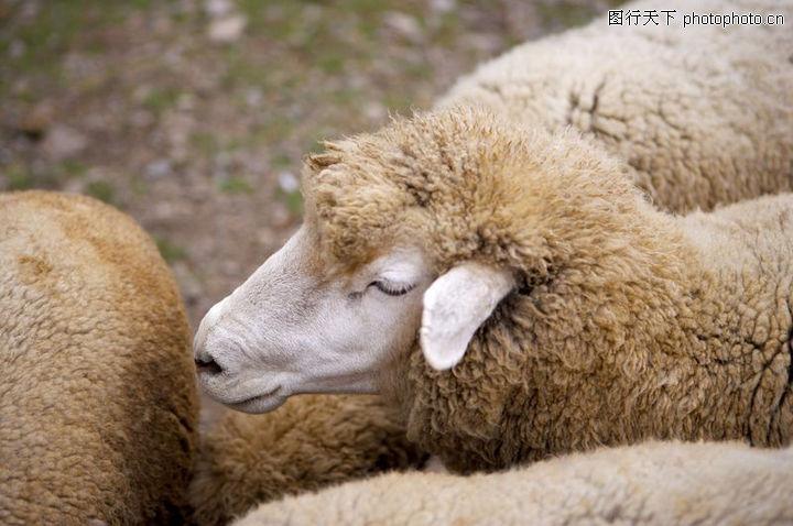 农场动物表情,农业,农场动物表情0031