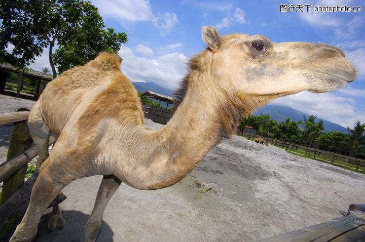 农场动物表情,农业,太阳 骆驼 昂头,农场动物表情0043
