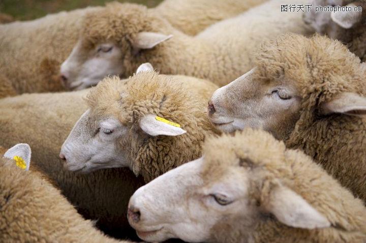 农场动物表情,农业,羊 羊群 动物,农场动物表情0052