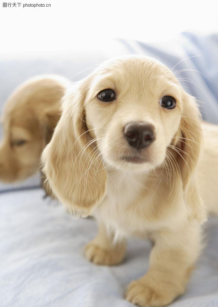 宝贝狗狗,动物,可爱 黄色小狗 沙发上,宝贝狗狗0295