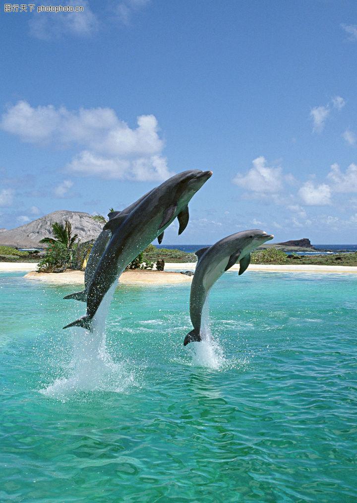 海豚鲸鱼企鹅,动物,优美动作,海豚鲸鱼企鹅0114
