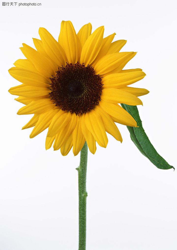 植物,向日葵花