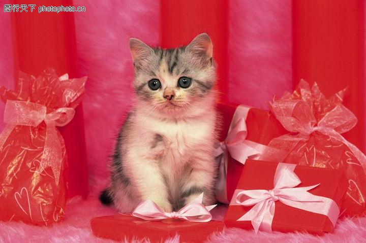 宠物猫咪,动物,礼物 蝴蝶结 礼盒,宠物猫咪0028