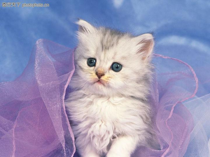 宠物猫咪,动物,丝巾,宠物猫咪0070