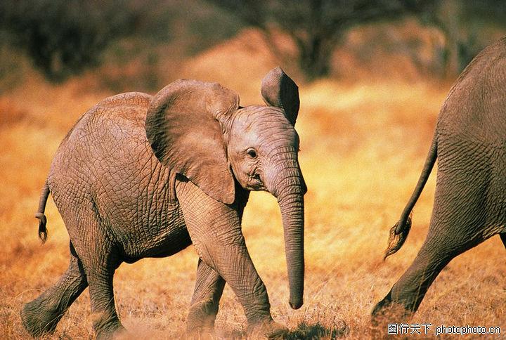 大象王国,动物,大耳朵,大象王国0206