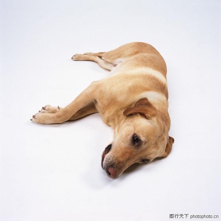 宠物精灵,动物,躺着的狗狗,宠物精灵0086