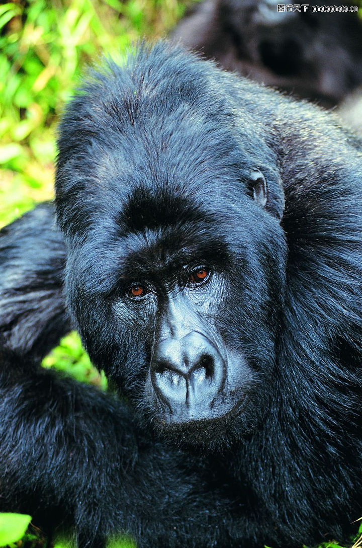 兽中之王,动物,黑猩猩,兽中之王0023