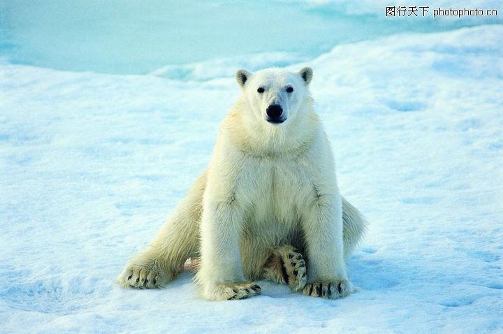 冰雪王国,动物,北极熊,冰雪王国0033