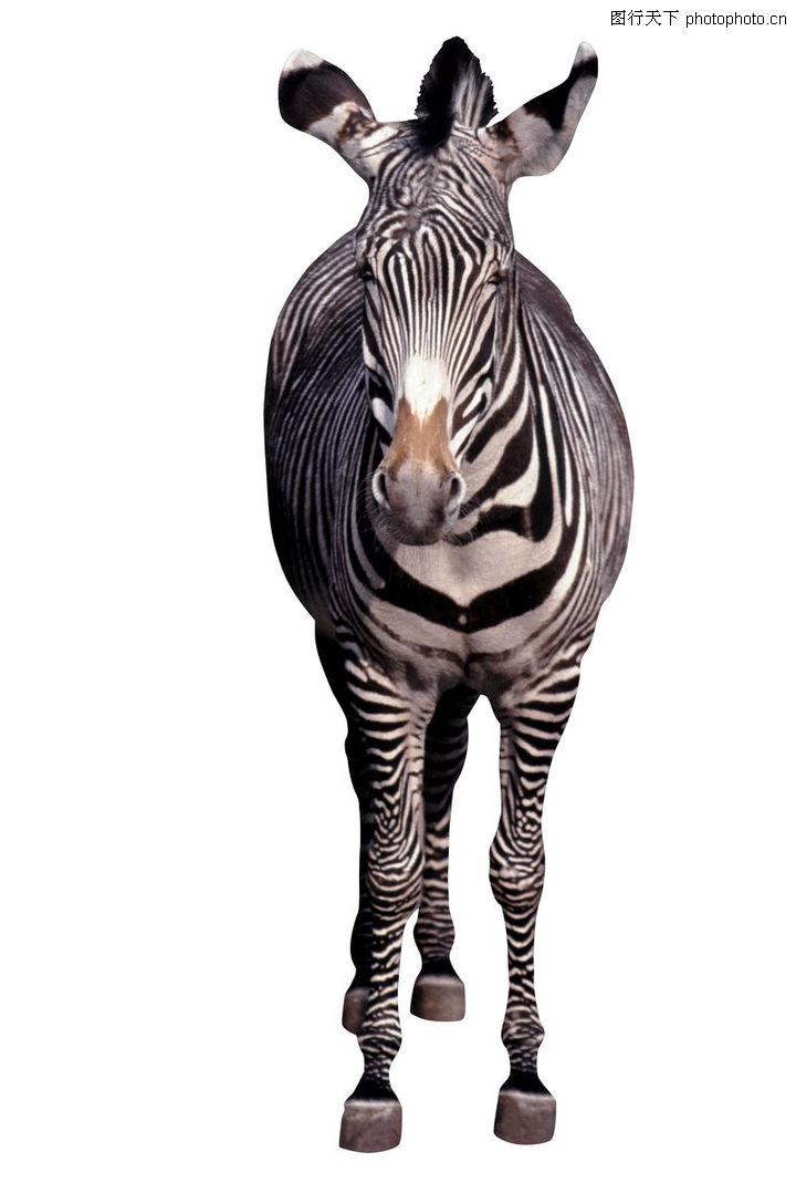 各类珍禽,动物,一头斑马,各类珍禽0026