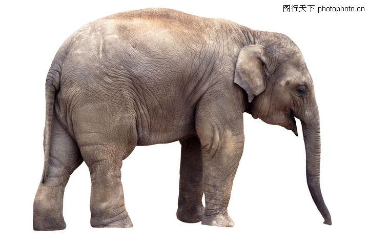 各类珍禽,动物,大象 长鼻 巨型动物,各类珍禽0097