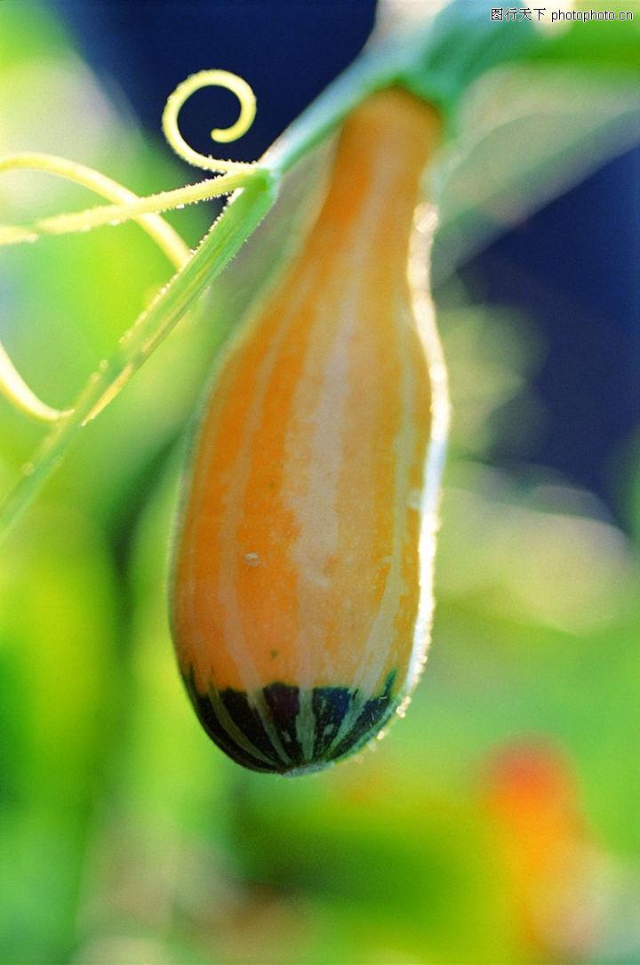 日常蔬菜,农业,果实 南瓜,日常蔬菜0091