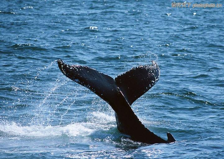 鲸鱼鲨鱼海豚,动物,海洋景色 鲨鱼尾部 水花,鲸鱼鲨鱼海豚0101