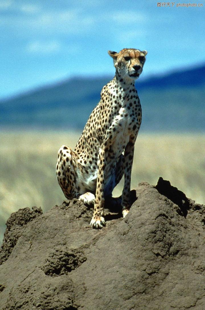 动物大观,动物,豹子 眺望,动物大观0237