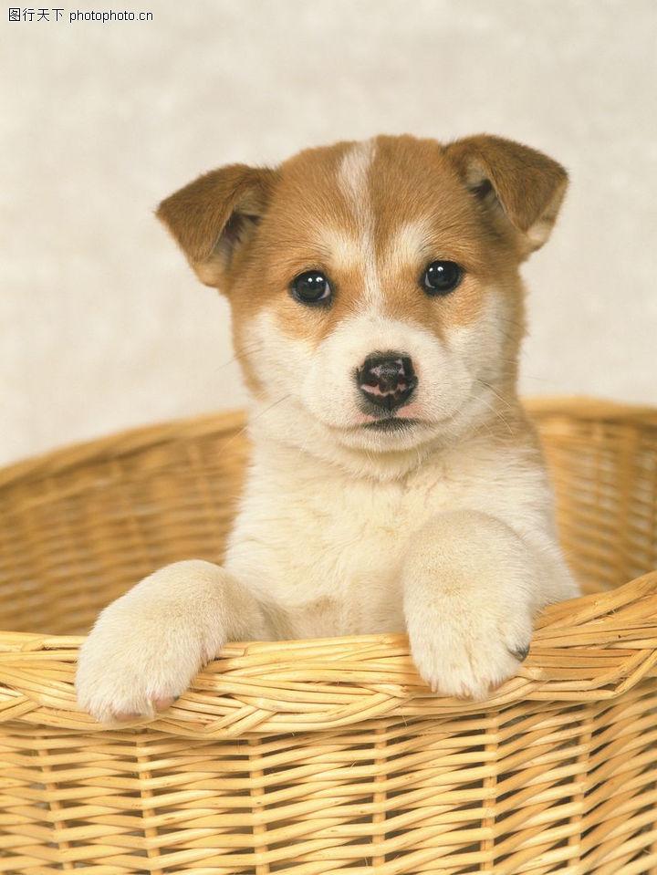 小狗狗宠物_宠物狗0288-动物图-动物图库